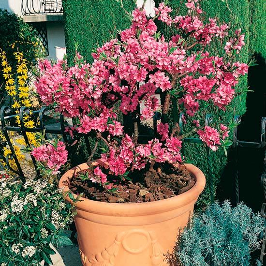 Dwarf Peach Tree U0027Diamondu0027