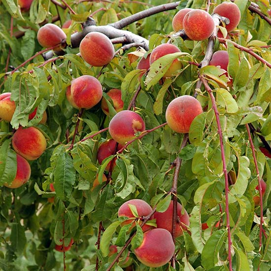 Peach Tree 'Lacrima' : Pomona Fruits, Buy Fruit Trees, Soft Fruit ...