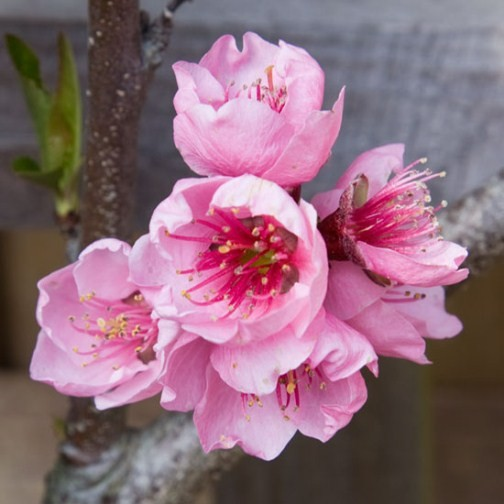 Peach Tree 'Peregrine' (Pot Grown) - Click Image to Close