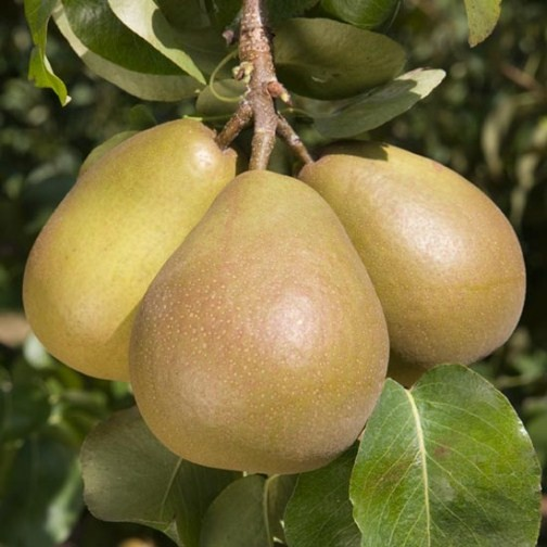 Cordon Pear 'Beurre Hardy' - Click Image to Close