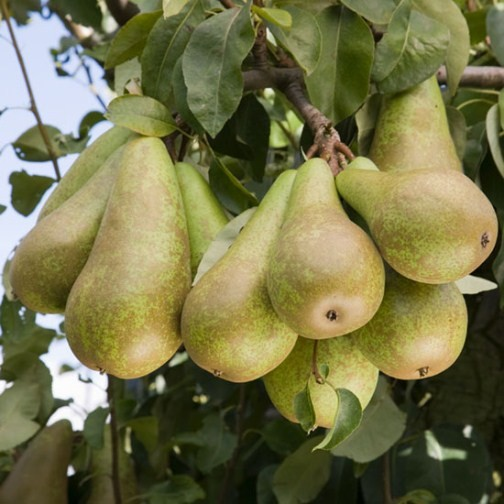Cordon Pear 'Conference' (Pot Grown) - Click Image to Close