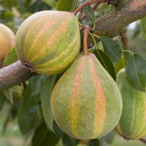 Pear Tree Humbug Humbug Green Yellow And