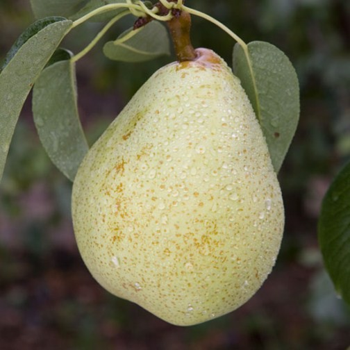 Pear Tree 'Invincible' (Pot Grown) - Click Image to Close