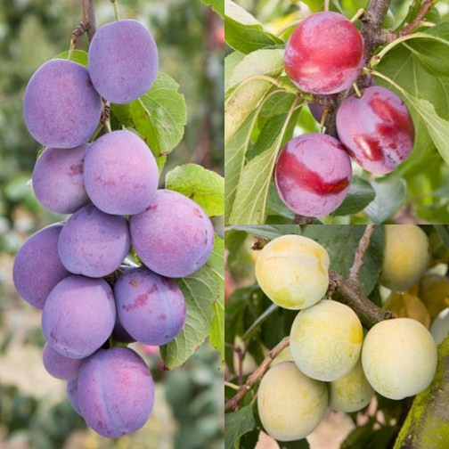 plum fruit are apples fruits