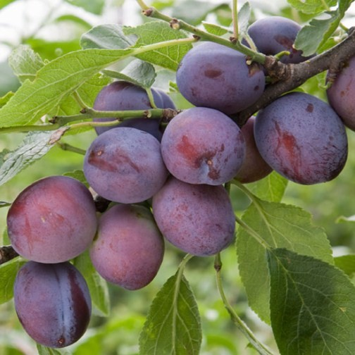 Plum Tree 'Herman' (Pot Grown) - Click Image to Close