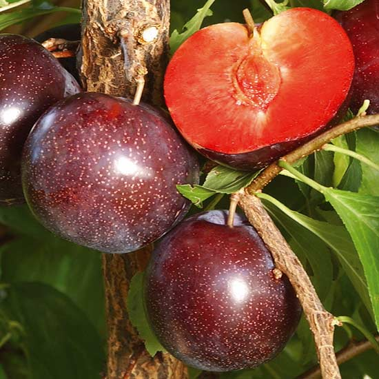 Fruit Trees & Bushes Pluot Tree 'Purple Candy'