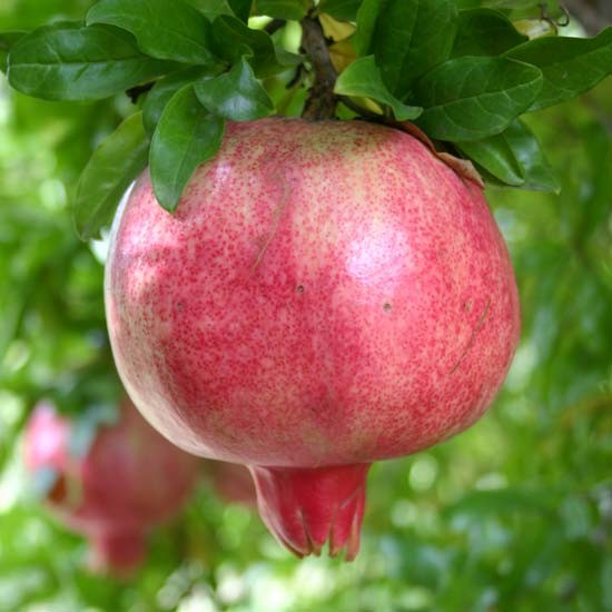 Pomegranate Tree 'Provence' - Click Image to Close