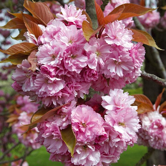 Prunus 'Kanzan' (Pot Grown) Flowering Cherry Tree - Click Image to Close