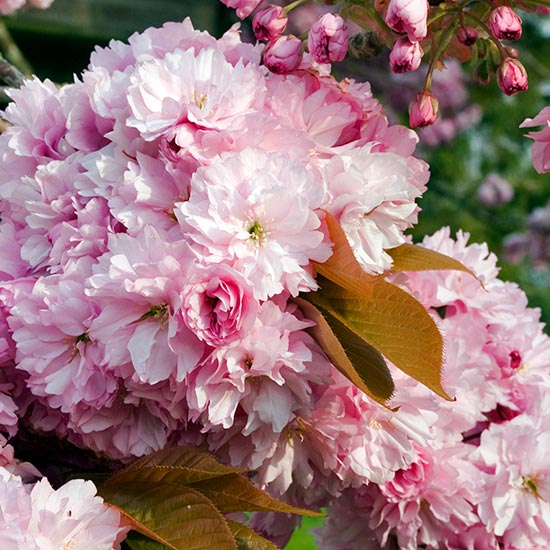 Prunus 'Pink Perfection' (Pot Grown) Flowering Cherry Tree - Click Image to Close