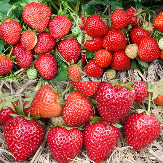 Summer Strawberry Plant Collection (18 plants) - Click Image to Close