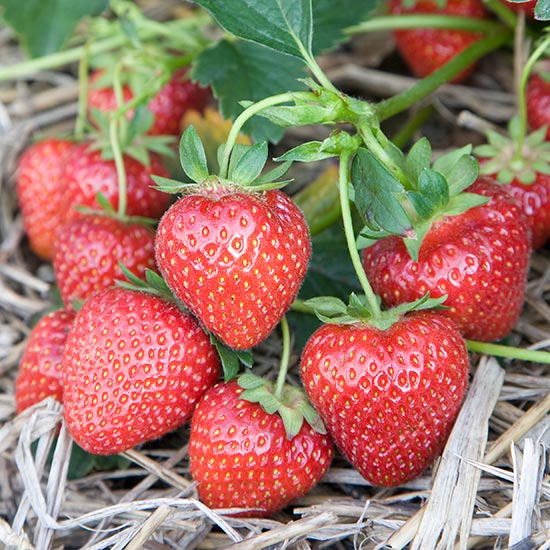 Strawberry Plants 'Cupid' (12 plants) - Click Image to Close
