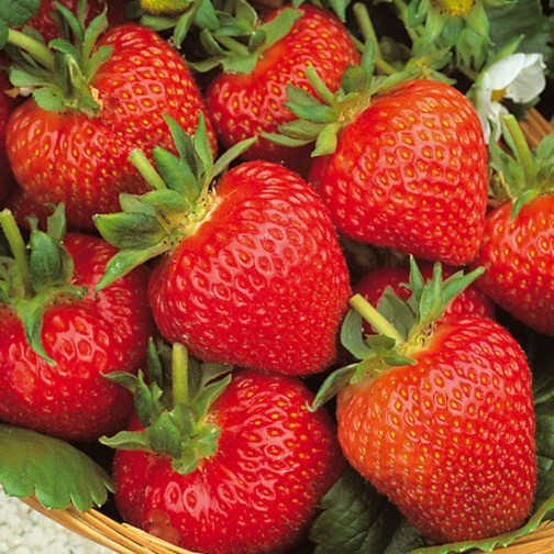 Strawberry Plants 'Flamenco' (12 plants) - Click Image to Close