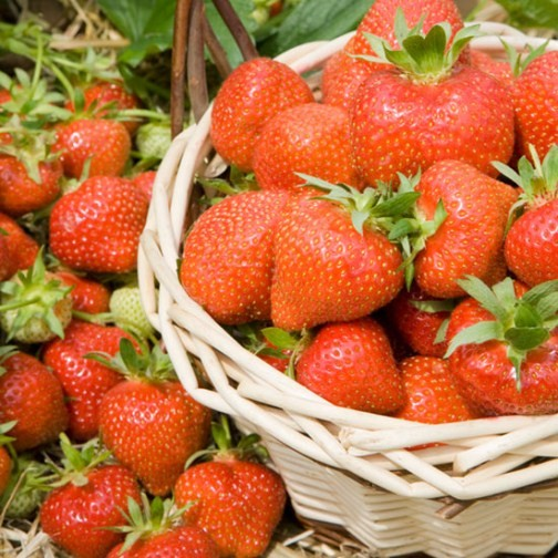 Strawberry Plants 'Hapil' (12 plants)