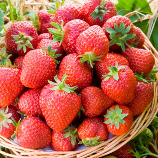 Strawberry Plants 'Honeoye' (12 plants)