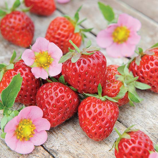 Strawberry Plants 'Just Add Cream' (12 plants) - Click Image to Close