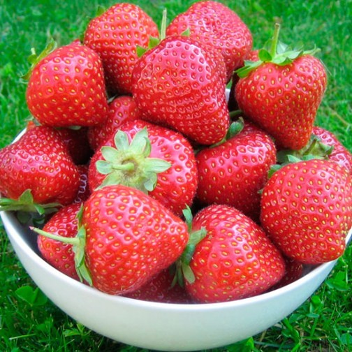 Strawberry Plants 'Malling Opal' (12 plants)