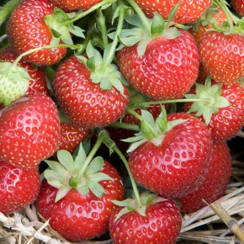 Strawberry Plants 'Royal Sovereign' (12 plants)