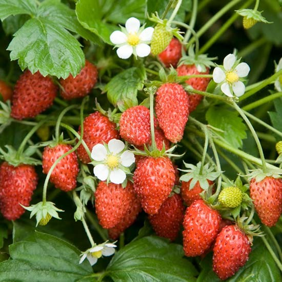 Buy Fruit: Alpine Strawberry Plants 'Scarlet Beauty' (12 Plants) : Pomona Fruits, Buy Fruit Trees, Soft