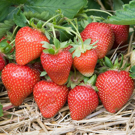 Strawberry Plants 'Sweetheart' (12 plants) - Click Image to Close