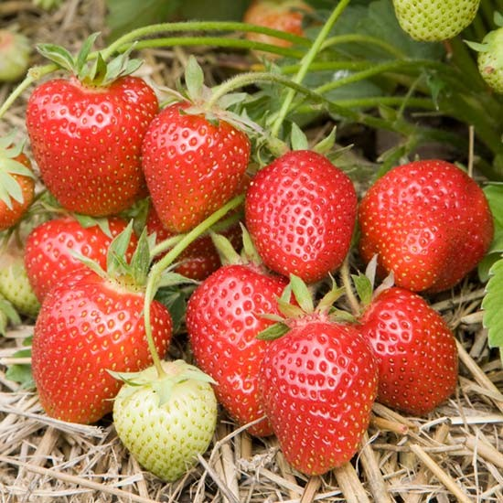 Strawberry Plants 'Symphony' (12 plants)
