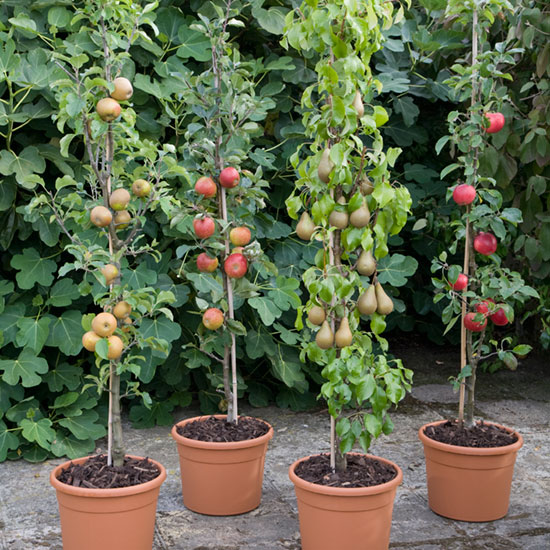 Cordon fruit trees growing in pots