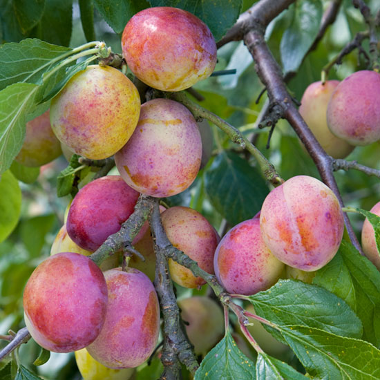 Victoria is just one of many plum varieties that can be grown successfully as a cordon.