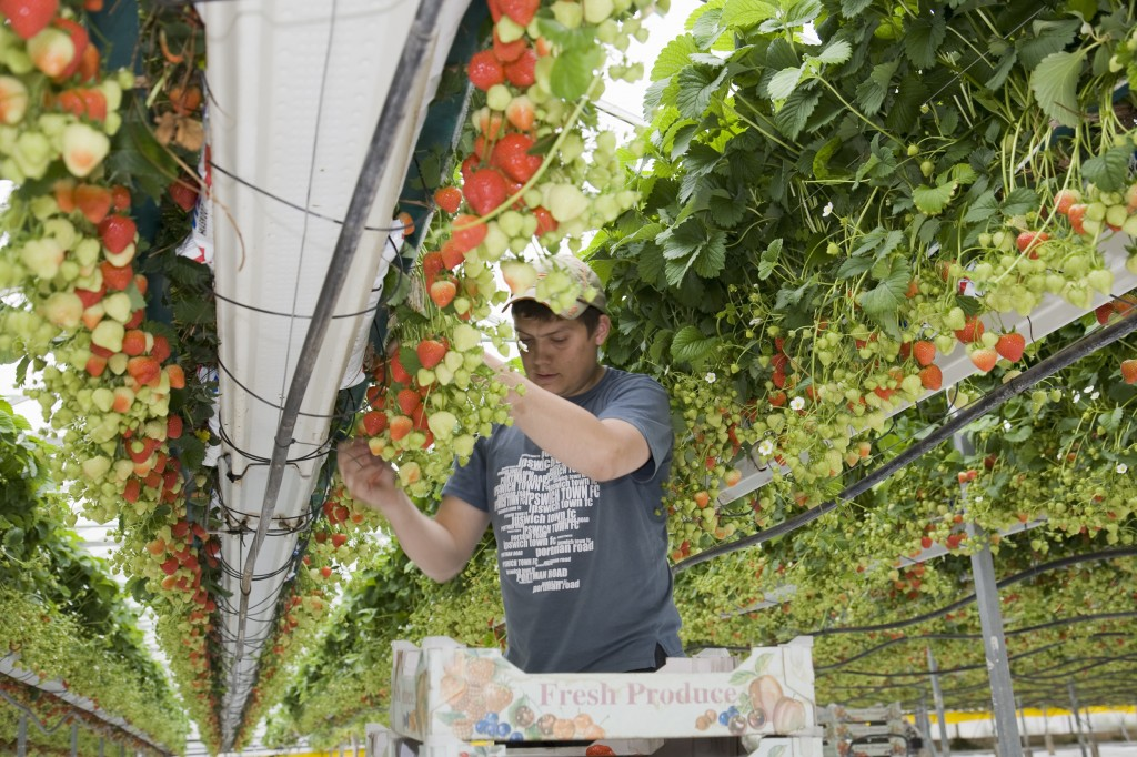 Tabletop systems have revolutionised commercial strawberry production in recent years.