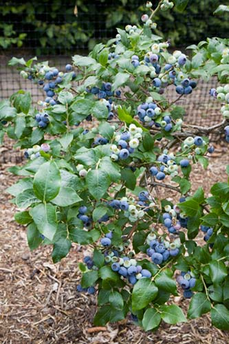 Young blueberry bush growing in a fruit cage