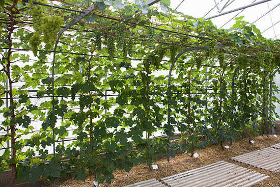 The Rod & Spur System - Grape Vines growing under glass at the RHS gardens, Wisley