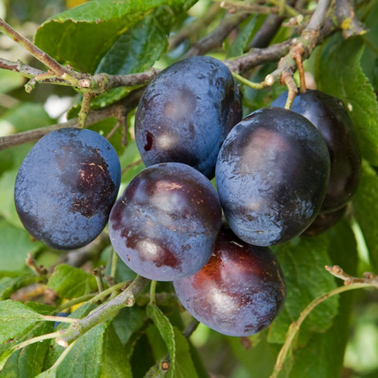 Merryweather Damson is sweet enough to be used as a dessert plum when fully ripe.