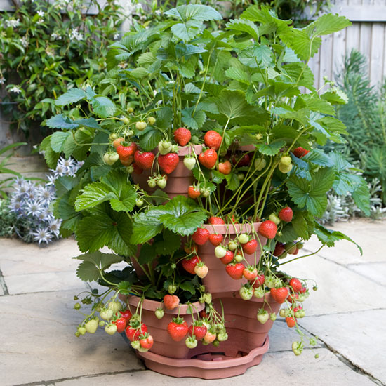 Strawberries growing in a 3-tier planter