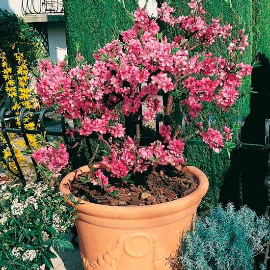 Dwarf Peach 'Diamond' is ideal for a container and will make a very attractive feature on the patio
