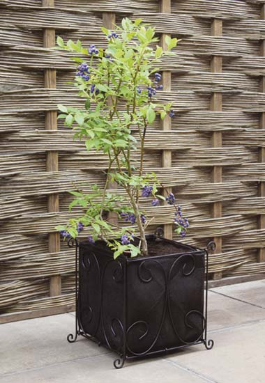 A Vigoroot Planter will enable the roots to develop without spiralling