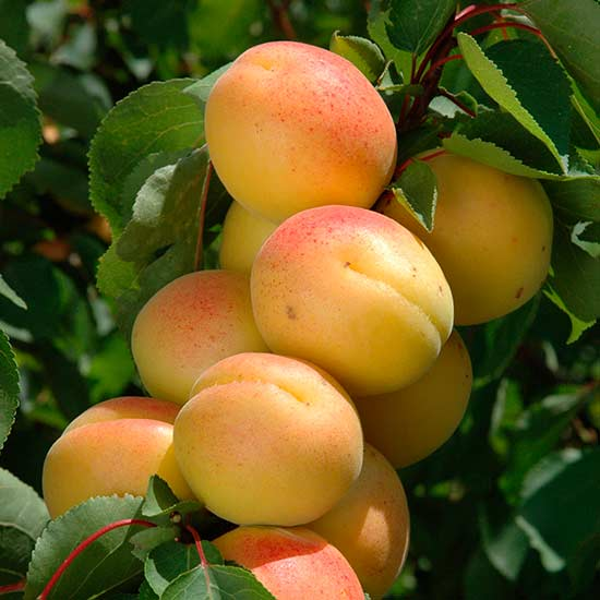 Apriums are complex apricot-plum hybrids that show more apricot than plum characteristics - several varieties have now been bred.