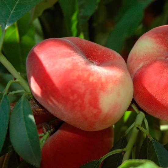 Peento (flat) Peach 'Sauzee Bel' has a wonderful sweet flavour.
