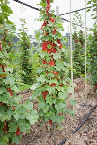 Single stemmed cordon redcurrants are ideal where space is restricted.