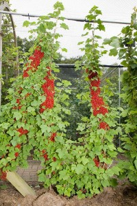 A double cordon (or U-cordon) redcurrant.