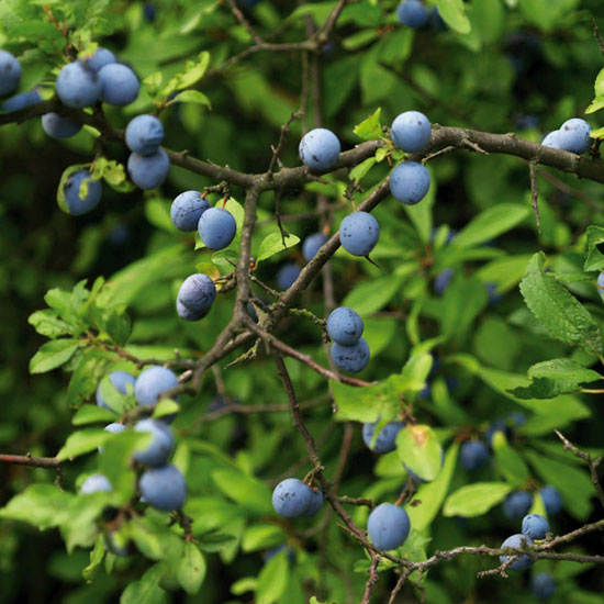 The small black-blue fruits of sloe can be used to make sloe gin or vodka.