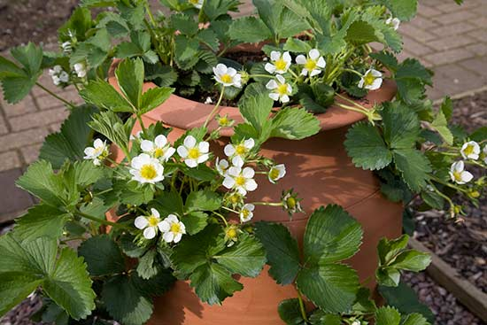 The first flowers will appear 2 to 4 weeks after planting coldstored strawberry plants.