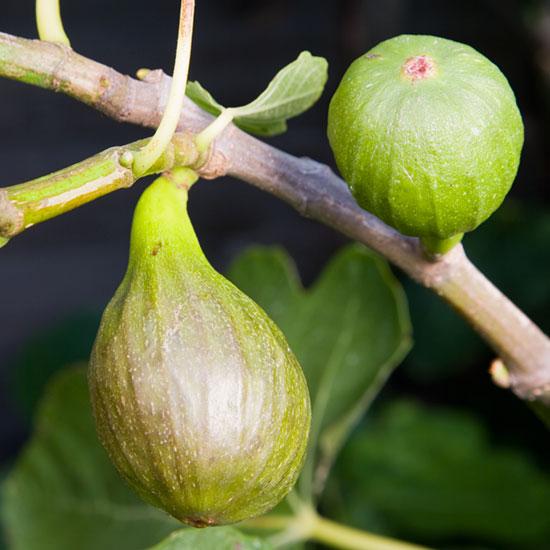 blog pomona fruits buy fruit trees soft fruit bushes. Black Bedroom Furniture Sets. Home Design Ideas