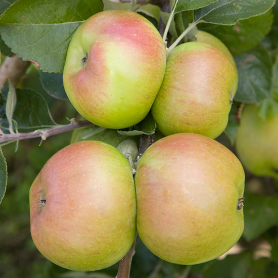 'Bramley's Seedling' is the most widely grown cooking apple in the UK.