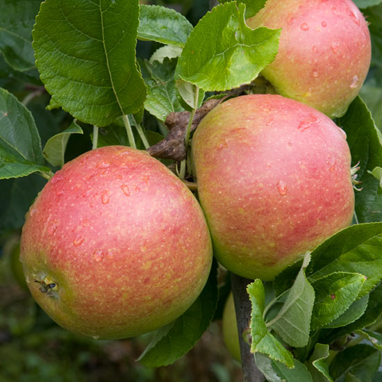 'Charles Ross' is a very attractive dual-purpose apple, suitable for dessert and culinary use.