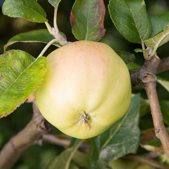 Grenadier is one of the best early cooking apples.
