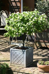 Sibley's Patio Quince is suitable for the smallest of gardens.