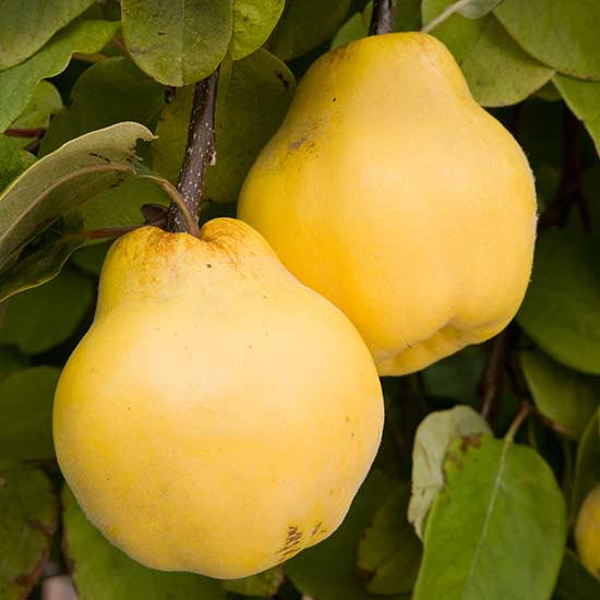 'Meeches Prolific' produces large, golden, pear-shaped fruits.
