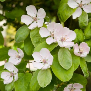 Quince-blossom-0900494