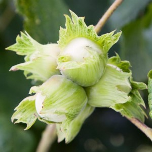 Cobnut 'Cosford' is one of the sweetest flavoured cobnuts.