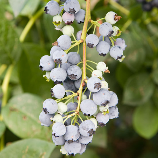 Blueberries prefer to grow in an acid soil.
