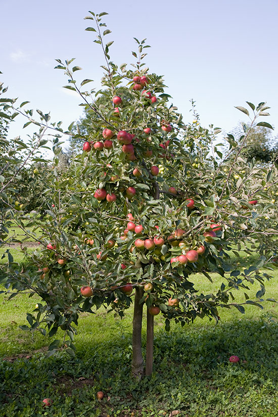 A pyramid apple tree on M26 roostock.