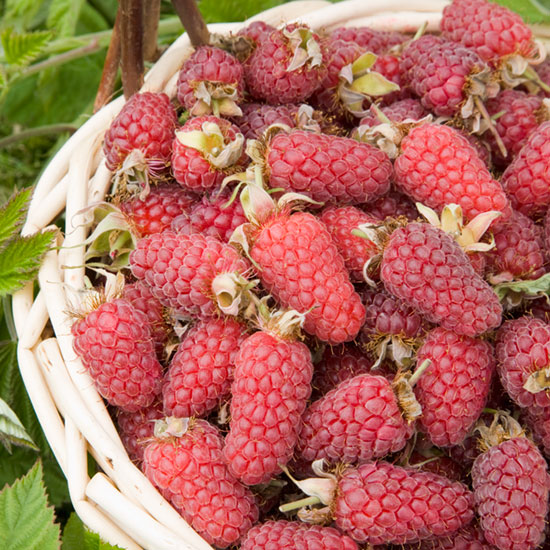 Loganberry LY654